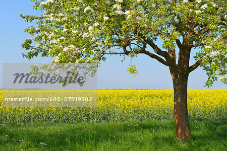 Blooming Fruit Tree and Canola Field, Bad Mergentheim, Baden-Wurttemberg, Germany Stock Photo - Premium Royalty-Free, Image code: 600-07519302