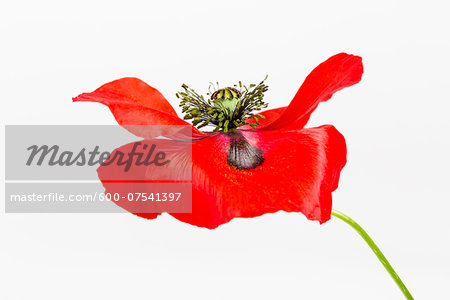 Red Field Poppy (Papaver rhoeas) on White Background Stock Photo - Premium Royalty-Free, Image code: 600-07541397