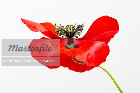 Red Field Poppy (Papaver rhoeas) on White Background Stock Photo - Premium Royalty-Free, Image code: 600-07541399