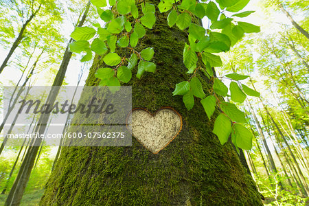 Heart Carved in European Beech (Fagus sylvatica) Tree Trunk, Odenwald, Hesse, Germany Stock Photo - Premium Royalty-Free, Image code: 600-07562375