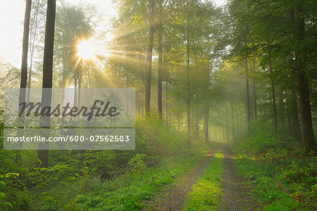 Sunbeams in European Beech (Fagus sylvatica) Forest, Spessart, Bavaria, Germany Stock Photo - Premium Royalty-Free, Image code: 600-07562503