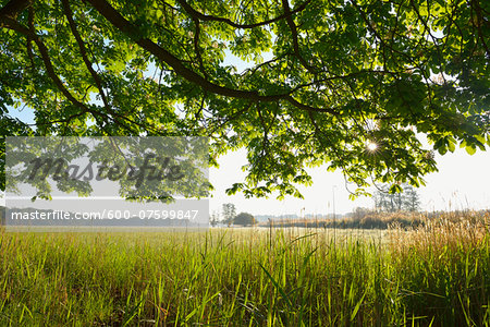 Branches of a chestnut tree and field, Nature Reserve Moenchbruch, Moerfelden-Walldorf, Hesse, Germany, Europe Stock Photo - Premium Royalty-Free, Image code: 600-07599847