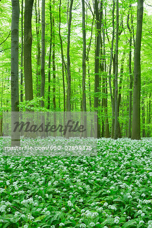 European Beech Forest (Fagus sylvatica) with Ramson (Allium ursinum), Hainich National Park, Thuringia, Germany, Europe Stock Photo - Premium Royalty-Free, Image code: 600-07599875