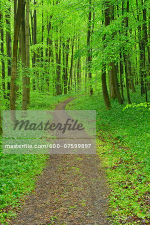 Path through beech forest, Hainich National Park, Thuringia, Germany, Europe Stock Photo - Premium Royalty-Free, Image code: 600-07599897