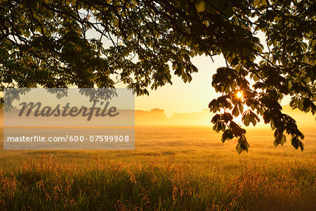 Chestnut tree branches and field at sunrise, Nature Reserve Moenchbruch, Moerfelden-Walldorf, Hesse, Germany, Europe Stock Photo - Premium Royalty-Free, Image code: 600-07599908