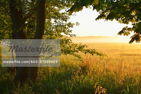 Trees and field at sunrise, Nature Reserve Moenchbruch, Moerfelden-Walldorf, Hesse, Germany, Europe Stock Photo - Premium Royalty-Free, Image code: 600-07599909