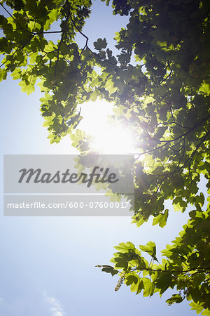 Low angle view of tree branches and blue sky with sun, Germany Stock Photo - Premium Royalty-Free, Image code: 600-07600017