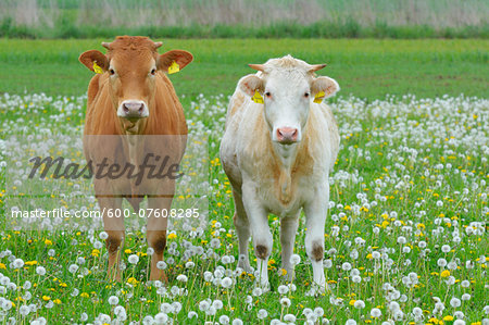 Cows in Meadow, Miltenberg, Bavaria, Germany, Europe Stock Photo - Premium Royalty-Free, Image code: 600-07608285