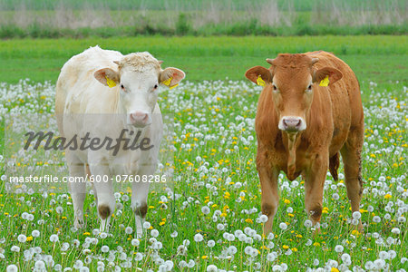Cows in Meadow, Miltenberg, Bavaria, Germany, Europe Stock Photo - Premium Royalty-Free, Image code: 600-07608286