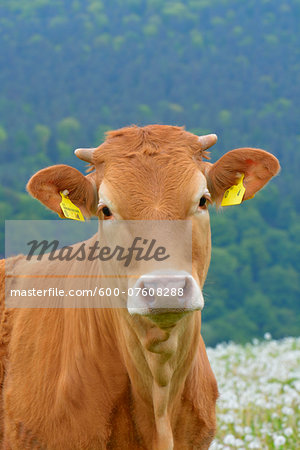 Close-up Portrait of Cow, Miltenberg, Bavaria, Germany, Europe Stock Photo - Premium Royalty-Free, Image code: 600-07608288