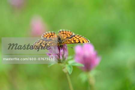 Close-up of Knapweed Fritillary (Melitaea phoebe) in Early Summer, Bavaria, Germany Stock Photo - Premium Royalty-Free, Image code: 600-07673635