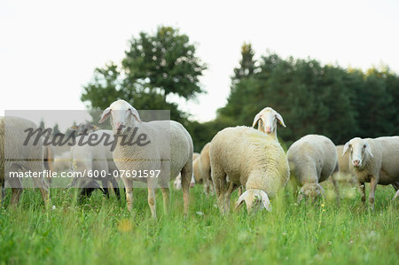 Flock of sheeps (Ovis aries) on a meadow in summer, Upper Palatinate, Bavaria, Germany Stock Photo - Premium Royalty-Free, Image code: 600-07691597