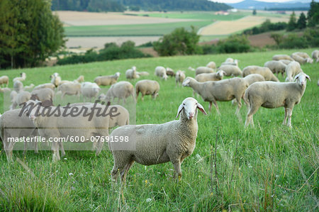 Flock of sheeps (Ovis aries) on a meadow in summer, Upper Palatinate, Bavaria, Germany Stock Photo - Premium Royalty-Free, Image code: 600-07691598