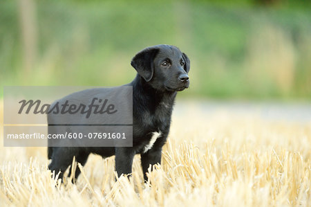 Mixed Black Labrador Retriever standing in a field in summer, Upper Palatinate, Bavaria, Germany Stock Photo - Premium Royalty-Free, Image code: 600-07691601