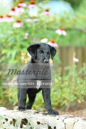 Mixed Black Labrador Retriever in a garden in summer, Upper Palatinate, Bavaria, Germany Stock Photo - Premium Royalty-Free, Image code: 600-07691604