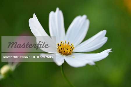 Close-up of a garden cosmos or Mexican aster (Cosmos bipinnatus) blossom in a garden in summer, Bavaria, Germany Stock Photo - Premium Royalty-Free, Image code: 600-07707609