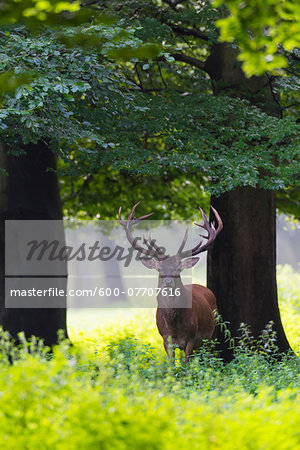 Portrait of red deer (Cervus elaphus) in summer, Germany, Europe Stock Photo - Premium Royalty-Free, Image code: 600-07707616