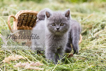 Portrait of British Shorthair cats, (British Blue) kittens in hay, Germany Stock Photo - Premium Royalty-Free, Image code: 600-07783861