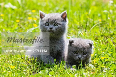 Close-up portrait of British Shorthair cats, (British Blue), kittens on green lawn, Germany Stock Photo - Premium Royalty-Free, Image code: 600-07783862