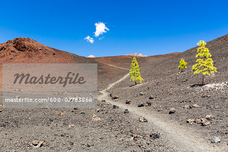 Hiking path by lava field with Canary Island pine (Pinus canariensis), Teide National Park, Tenerife, Canary Islands Stock Photo - Premium Royalty-Free, Image code: 600-07783868