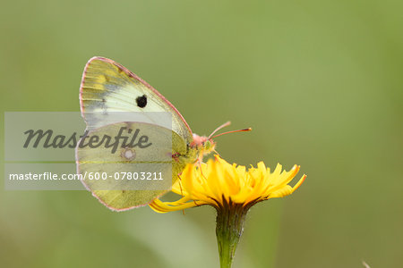 Close-up of a Berger's Clouded Yellow (Colias sareptensis) butterfly in autumn, Upper Palatinate, Bavaria, Germany Stock Photo - Premium Royalty-Free, Image code: 600-07803211