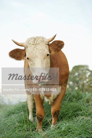 Close-up of a Cattle (Bos) Standing in Meadow on Early Morning in Autumn, Bavarian Forest National Park, Bavaria, Germany Stock Photo - Premium Royalty-Free, Image code: 600-07810452