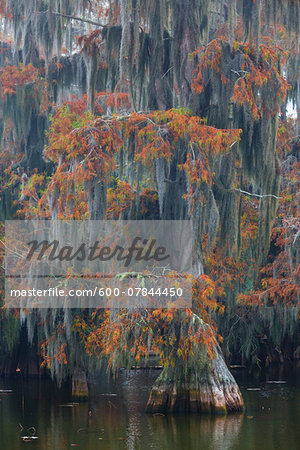 Swamp Cypress Trees (Taxodium distichum) in Autumn Colors on Lake Martin, Louisiana, USA Stock Photo - Premium Royalty-Free, Image code: 600-07844450