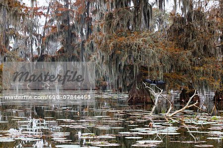 Swamp Cypress Trees (Taxodium distichum) in Autumn Colors on Lake Martin, Louisiana, USA Stock Photo - Premium Royalty-Free, Image code: 600-07844453