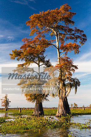 Swamp Cypress Trees (Taxodium distichum) in Autum Colors, Atchafalaya Basin, Louisiana, USA Stock Photo - Premium Royalty-Free, Image code: 600-07844473