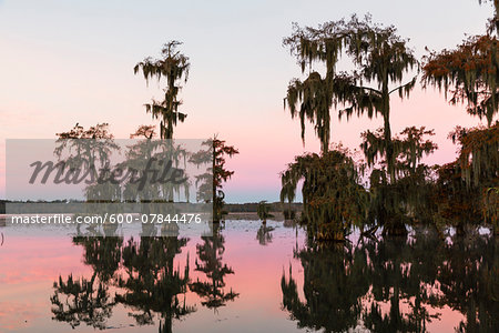 Swamp Cypress Trees (Taxodium distichum) in Autumn at Dawn, Lake Martin, Louisiana, USA Stock Photo - Premium Royalty-Free, Image code: 600-07844476