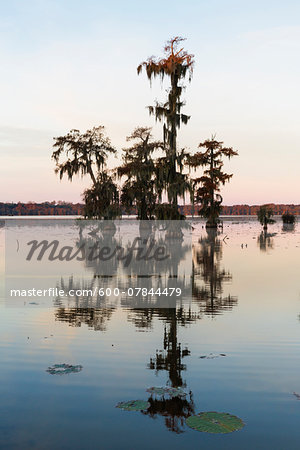 Swamp Cypress Trees (Taxodium distichum) in Autumn at Dawn, Lake Martin, Louisiana, USA Stock Photo - Premium Royalty-Free, Image code: 600-07844479