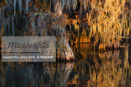 Swamp Cypress Trees (Taxodium distichum) in Autumn at Sunrise, Lake Martin, Louisiana, USA Stock Photo - Premium Royalty-Free, Image code: 600-07844480