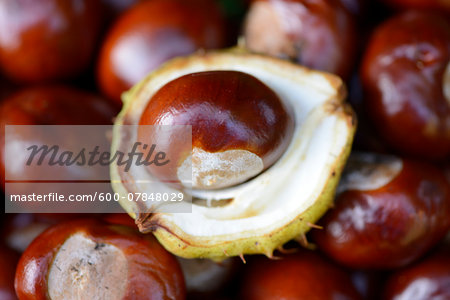 Close-up of horse-chestnuts (Aesculus hippocastanum) in a garden in summer, Bavaria, Germany Stock Photo - Premium Royalty-Free, Image code: 600-07848029