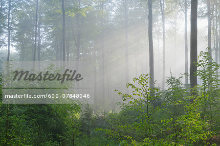 Sunbeams in Beech Forest, Fagus sylvatica, Spessart, Bavaria, Germany, Europe Stock Photo - Premium Royalty-Free, Image code: 600-07848046