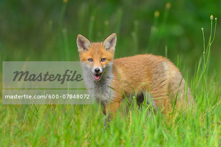Young Red Fox, Vulpes vulpes, Hesse, Germany, Europe Stock Photo - Premium Royalty-Free, Image code: 600-07848072