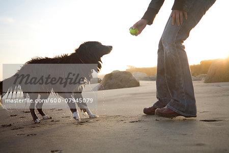 A dog plays fetch on Lucy Vincent Beach on Martha's Vineyard, Massachusetts, USA Stock Photo - Premium Royalty-Free, Image code: 600-07945079