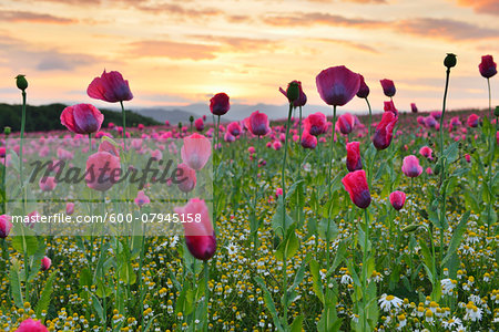 Close-up of Opium Poppy Field (Papaver somniferum) at Sunrise, Summer, Germerode, Hoher Meissner, Werra Meissner District, Hesse, Germany Stock Photo - Premium Royalty-Free, Image code: 600-07945158
