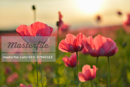 Close-up of Opium Poppies (Papaver somniferum) in field at Sunrise, Summer, Germerode, Hoher Meissner, Werra Meissner District, Hesse, Germany