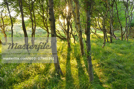 Birch Forest in the Dunes with Sun, Summer, Norderney, East Frisia Island, North Sea, Lower Saxony, Germany Stock Photo - Premium Royalty-Free, Image code: 600-07945361