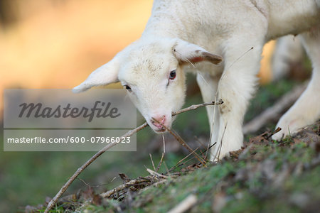 Close-up of a house-sheep (Ovis orientalis aries) lamb on a meadow in spring, Bavaria, Germany Stock Photo - Premium Royalty-Free, Image code: 600-07966023