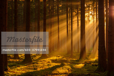 Spruce Forest in Early Morning Mist at Sunrise, Odenwald, Hesse, Germany Stock Photo - Premium Royalty-Free, Image code: 600-07991694