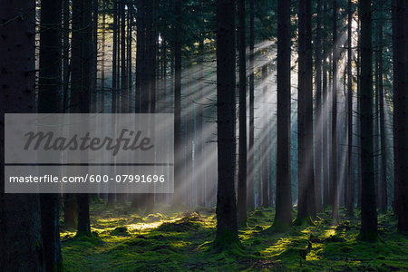 Spruce Forest in Early Morning Mist at Sunrise, Odenwald, Hesse, Germany Stock Photo - Premium Royalty-Free, Image code: 600-07991696