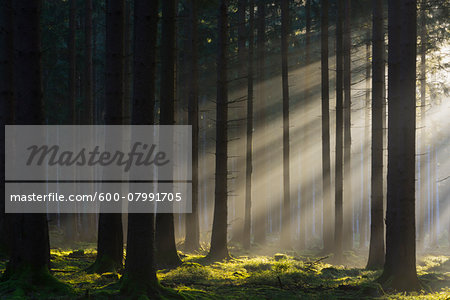 Spruce Forest in Early Morning Mist at Sunrise, Odenwald, Hesse, Germany Stock Photo - Premium Royalty-Free, Image code: 600-07991705