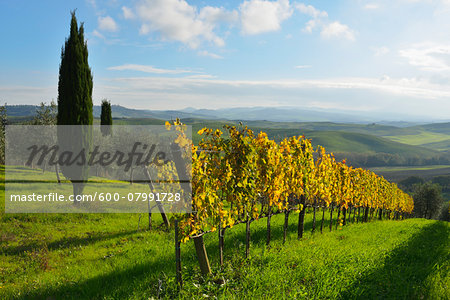 Tuscany Countryside with Vineyard and Cypress Tree, Autumn, San Quirico d'Orcia, Val d'Orcia, Province Siena, Tuscany, Italy Stock Photo - Premium Royalty-Free, Image code: 600-07991728