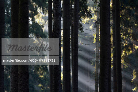 Morning Haze in the Coniferus Forest, Harz, Lower Saxony, Germany Stock Photo - Premium Royalty-Free, Image code: 600-07991731