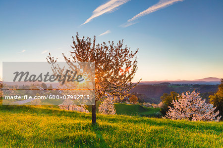 Blooming cherry trees on pasture land at sunrise, backlit, spring, St Pantaleon, Canton of Solothurn, Switzerland Stock Photo - Premium Royalty-Free, Image code: 600-07992713