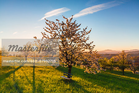 Blooming cherry trees on pasture land at sunrise, backlit, spring, St Pantaleon, Canton of Solothurn, Switzerland Stock Photo - Premium Royalty-Free, Image code: 600-07992715
