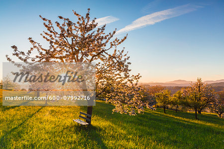 Blooming cherry trees on pasture land at sunrise, backlit, spring, St Pantaleon, Canton of Solothurn, Switzerland Stock Photo - Premium Royalty-Free, Image code: 600-07992716