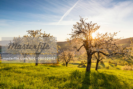 Cherry trees in bloom on pasture land at sunrise with sun, spring, Canton of Aargau, Switzerland Stock Photo - Premium Royalty-Free, Image code: 600-08002042