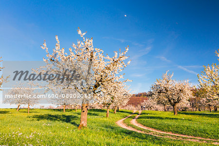 Blooming cherry trees on pasture land with tracks, spring, Canton of Basel-Landschaft, Switzerland Stock Photo - Premium Royalty-Free, Image code: 600-08002063